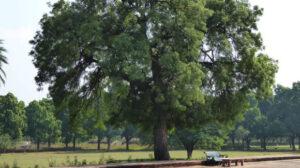 Дерево ним, или азадирахта индийская