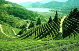 Чай Дарджилинг – Чайное шампанское